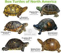 175 best tortoise turtles garden images on tortoise