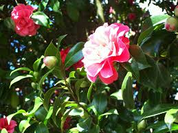 Maryland Pink And Green Wordless Mostly Wordless Wednesday Anyone Recognize This Flowering Tree