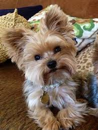 yorkie hairstyles or yorkie haircuts miniature yorkshire terrier