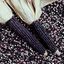 blue dent ornamental corn jung garden and flower seed company