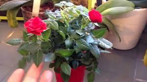 mini rose bush advice youtube