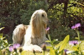 afghan hound times afghan hound