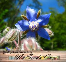 edible blue flowers big pack borago officinalis 1 500 seeds borage seed edible