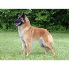 belgian sheepdog for sale in texas belgian tervuren dog breeds dog com