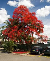 what can native australian plants teach us about business brachychiton acerifolius wikipedia