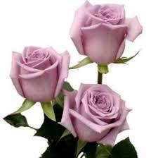 lavender roses wholesale bulk discount cut roses colombia ecuador avant garde
