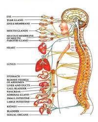 A Picture Of The Human Anatomy The 25 Best Spinal Nerve Ideas On Pinterest Nerves Function