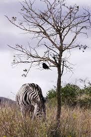 file drongo zebra tree hluhluwe umfolozi reserve