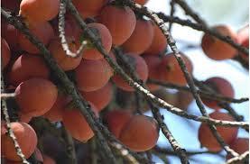 Palm Trees Fruit - tree fruit with orange fruits jpg