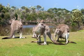 kangaroo and joey stock photos u0026 pictures royalty free kangaroo