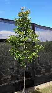 advanced trees direct products ornamental pear select