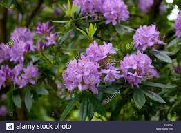 tree with purple flowers rhododendron ponticum purple flowers flower flowering evergreen