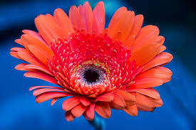 free photo gerbera daisy flower color red free image on
