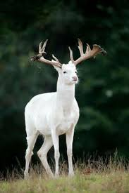 picture of the day white reindeer spotted in mala sweden i