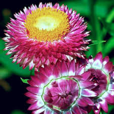 straw flowers how to grow strawflowers eco organic garden by ocp