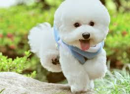 bichon frise dog pictures the bichon frise went from a noble dog to a common one