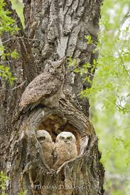 cottonwood hollow great horned owls