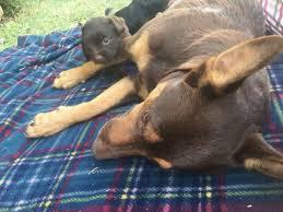 resume template customer service australian kelpie breeders north kelpie x moodle pups dogs puppies gumtree australia north