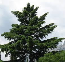 san diego trees guide best types to plant in your yard install