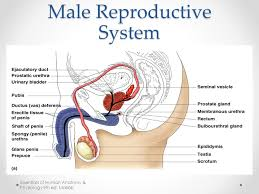 The Anatomy Of The Male Reproductive System Reproductive System Pta 120 Pathology Week 10 Objectives Describe