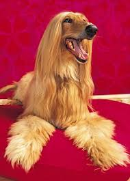 afghan hound least intelligent could your dog be cleverer than your two year old daily mail online