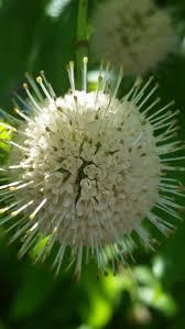 kansas native plant society 19 best tradescantia ohiensis images on pinterest native plants