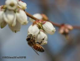 Flowers Bees Pollinate - blueberry pollinators north carolina cooperative extension