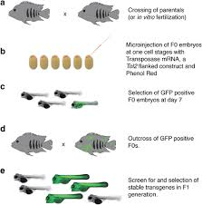 tol2 transposon mediated transgenesis in the midas cichlid