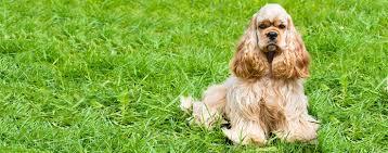 imagenes de english cocker spaniel english cocker spaniel dog breed health history appearance