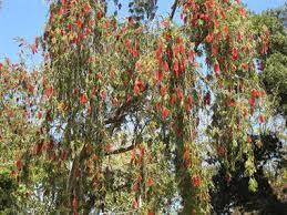 weeping bottlebrush tree callistemon viminalis