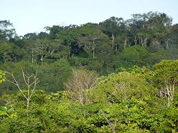 Canopy Birds by Tropical Birds Return To Harvested Rainforest Areas In Brazil All