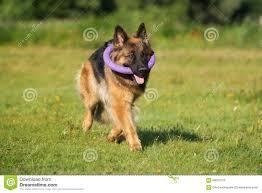 belgian shepherd nova scotia walking dog german shepherd stock photos images u0026 pictures 869