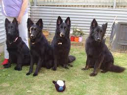 belgian shepherd qld malachi german shepherds raceview petpages com au
