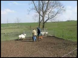 belgian shepherd herding lily belgian malinois first exposure to sheep herding youtube