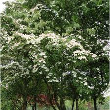 decorative trees for home cornus kousa var chinensis white flowering chinese dogwood trees