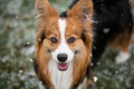 corgi x australian shepherd cardigan welsh corgi dog breed information pictures