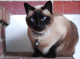 siamese kitten personality information funny cat wallpaper seal