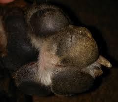 boxer dog feet sensitive feet sores boxer forum boxer breed dog forums
