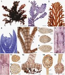 morphology and phylogeny of pterosiphonia dendroidea