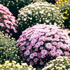best 25 shrubs ideas on pinterest landscaping with flowers
