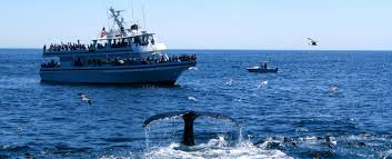 your ultimate guide to the best whale watching in cape cod