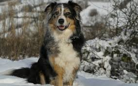 australian shepherd eye color genetics genetics basics coat color genetics in dogs vca animal hospital