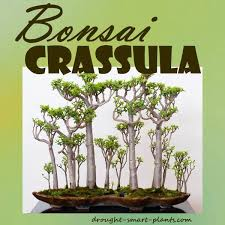 Crassula Bonsai make a charming tiny tree from your Jade Plant