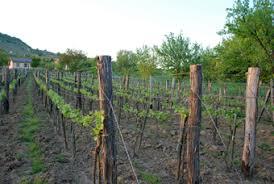 Trellis System Vineyard Royal Somló Vineyards