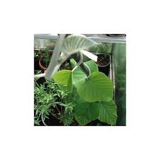 hawaiian baby woodrose argyreia nervosa hbw seeds for sale