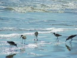 mustang island state park reviews water birds picture of mustang island state park port aransas