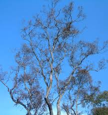 leaves of your gum tree looking dead and falling canopy