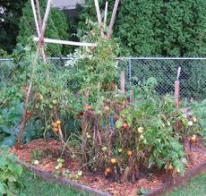 tomato update u2026sad looking plants as august 2008 rolls around