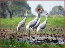 indore birds of malwa
