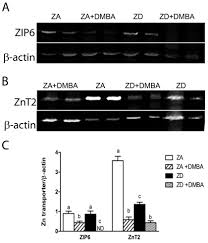 marginal zinc intake reduces the protective effect of lactation on